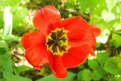 Apra il tulipano rosso nel giardino Immagine Stock