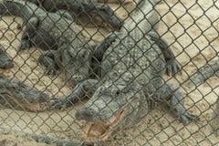 Apra la bocca Aligators nell'azienda agricola dell'alligatore dei terreni paludosi florida Fotografie Stock