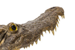 Apra la bocca del coccodrillo Fotografia Stock
