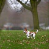 Apreciação de Jack Russell do Parson funcionada no parque Foto de Stock Royalty Free