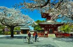 Apreciando a beleza de Sakura Imagens de Stock Royalty Free