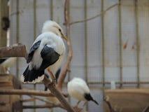 Apreensão da espécie em vias de extinção protegida pela polícia da floresta de java Imagem de Stock