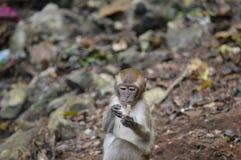 Aprendizaje del mono del Langur del bebé Fotografía de archivo