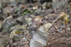 Aprendizaje del mono del Langur del bebé Fotografía de archivo libre de regalías
