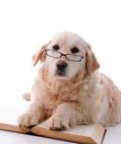 Aprendizaje del perro perdiguero de oro Imagenes de archivo
