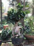 Apresentação dos bonsais cultura de jardinagem japonesa Miniscape fotos de stock royalty free