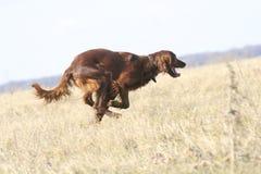 Apressando o cão Foto de Stock