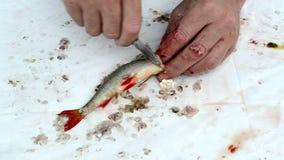 Apresure las manos del pescador con las escalas de pescados limpias del redeye del rudd del cuchillo almacen de metraje de vídeo