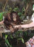 Apretón de manos amistoso del mono del hombre Fotografía de archivo libre de regalías