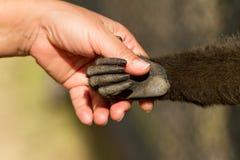 Apretón de manos del mono y del ser humano Foto de archivo