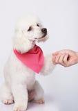 Apretón de manos del perro y del hombre blancos de caniche Fotografía de archivo