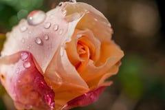 Apricort wzrastał po deszczu Fotografia Royalty Free