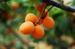 Apricot 10 Stock Photography