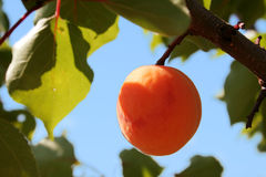 Apricot. On -tree Royalty Free Stock Images
