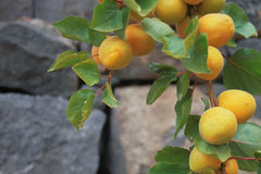 Apricot. Photo of branch of apricot with leafs and stone wall in background royalty free stock photo