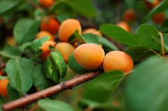 Apricot 2 Royalty Free Stock Photo