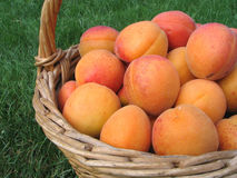 Apricot. Full basket of orange apricots Royalty Free Stock Photos
