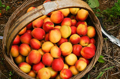 Apricot. After harvest in a basket of apricot Royalty Free Stock Photo