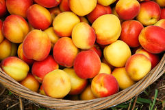 Apricot. After harvest in a basket of apricot Stock Images