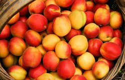 Apricot. After harvest in a basket of apricot Royalty Free Stock Images