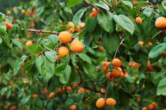 Apricot 4 Royalty Free Stock Photography