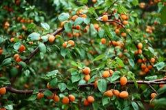 Apricot 5 Stock Photo