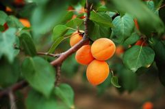 Apricot 6 Stock Photography