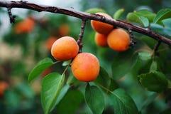 Apricot 7 Stock Photo