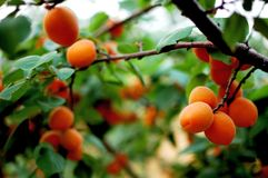Apricot 8 Stock Images