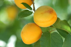 Apricot. This is a fresh ripe apricot fruit Royalty Free Stock Photography