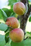 Apricot. Beautiful sweety apricot. Garden. food Stock Photography