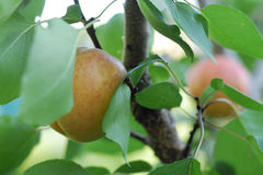 Apricot. Beautiful sweety apricot. Garden. food Royalty Free Stock Photography