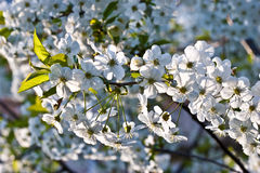 Apricot bloom Royalty Free Stock Image