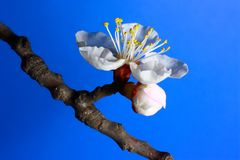 Apricot bloom Royalty Free Stock Photography