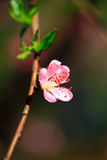 Apricot bloom. Beautiful pink apricot flower against blur background royalty free stock image