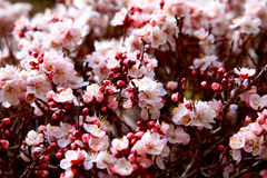 Apricot bloom Stock Image