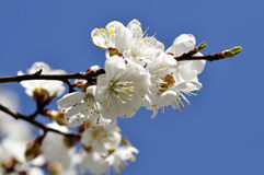 Apricot bloom Stock Photo