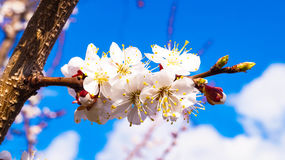 Apricot blooming Stock Image
