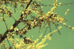 Apricot blooming branches against sky, toned Stock Photography
