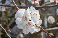 Apricot blooming Royalty Free Stock Photos