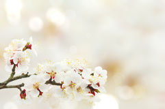 Apricot blossom Stock Image
