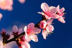 Apricot blossom. On clear blue sky background Royalty Free Stock Photos