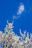 Apricot blossom. Against the blue sky Royalty Free Stock Image