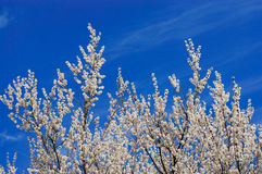 Apricot blossom. Against the blue sky Royalty Free Stock Photography