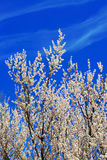 Apricot blossom. Against the blue sky Stock Image