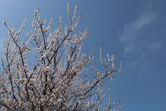 Apricot blossom. Against the blue sky blooming apricot tree Royalty Free Stock Photos