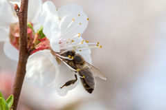 Apricot blossom and bee Stock Photo