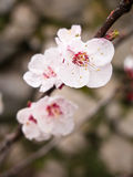 Apricot blossom Stock Photography