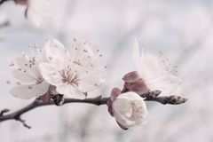 Apricot Blossom on Branch Royalty Free Stock Images