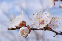 Apricot Blossom on Branch Royalty Free Stock Image